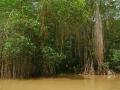 Mangrovenwälder an der Karibik-Küste