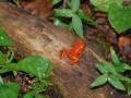 Pfeilgiftfrosch im Regenwald